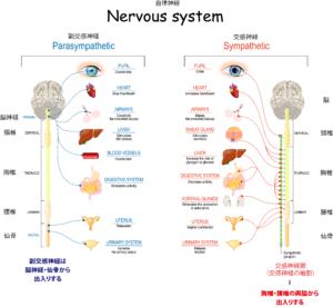 自律神経の解剖